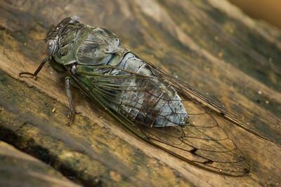 Locust on wood