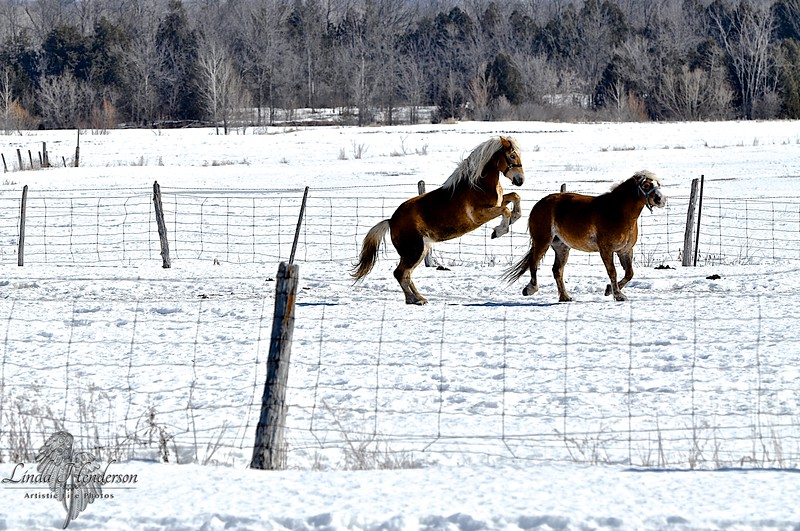 Horses Playing In Pasture