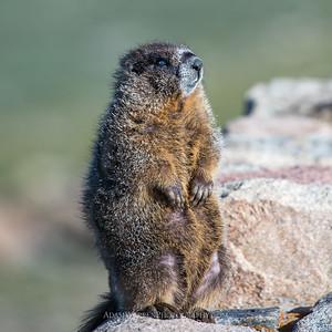 Marmot Sunning