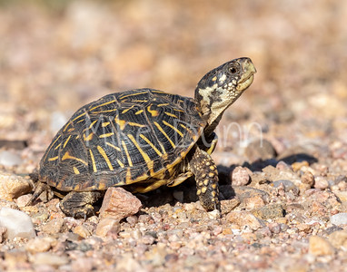 Box Turtle-3