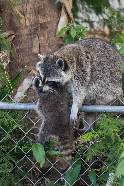 Racoons  - mama and kit