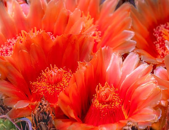 Barrel Cactus Flowers