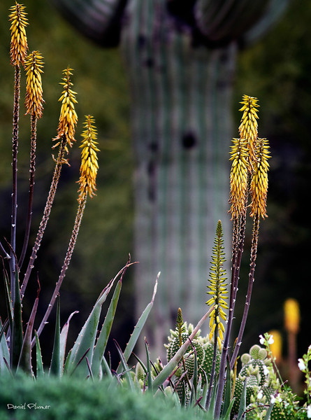 Blooming Aloes