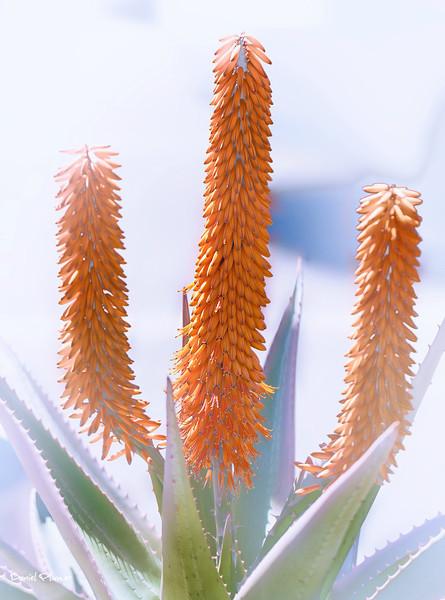 Aloe Spring Bloom