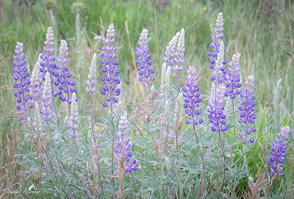 Lupine Concerto