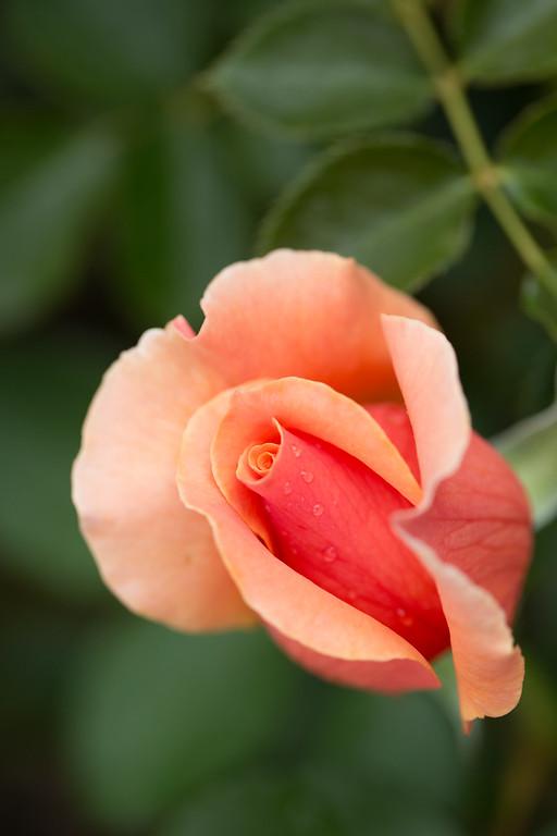 Yoda's Rose