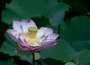Chinese Garden Flower