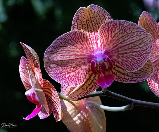 Orchid Sonata