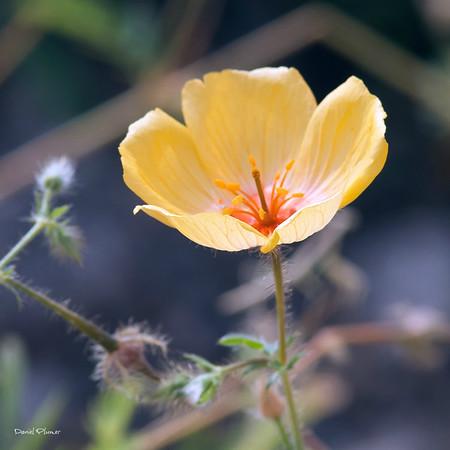 Poppy Solitaire III