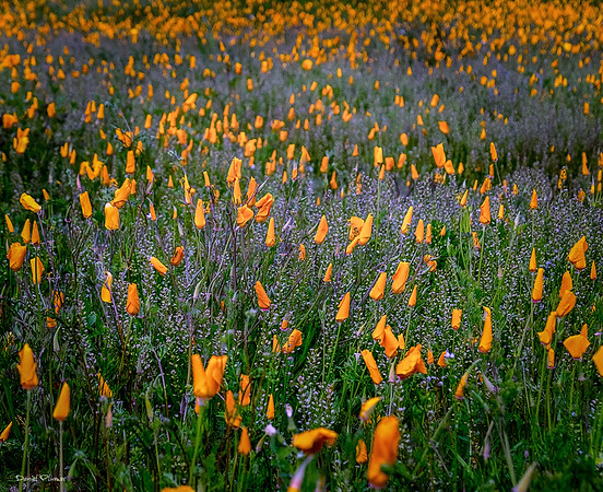 Cold And Wet Poppies