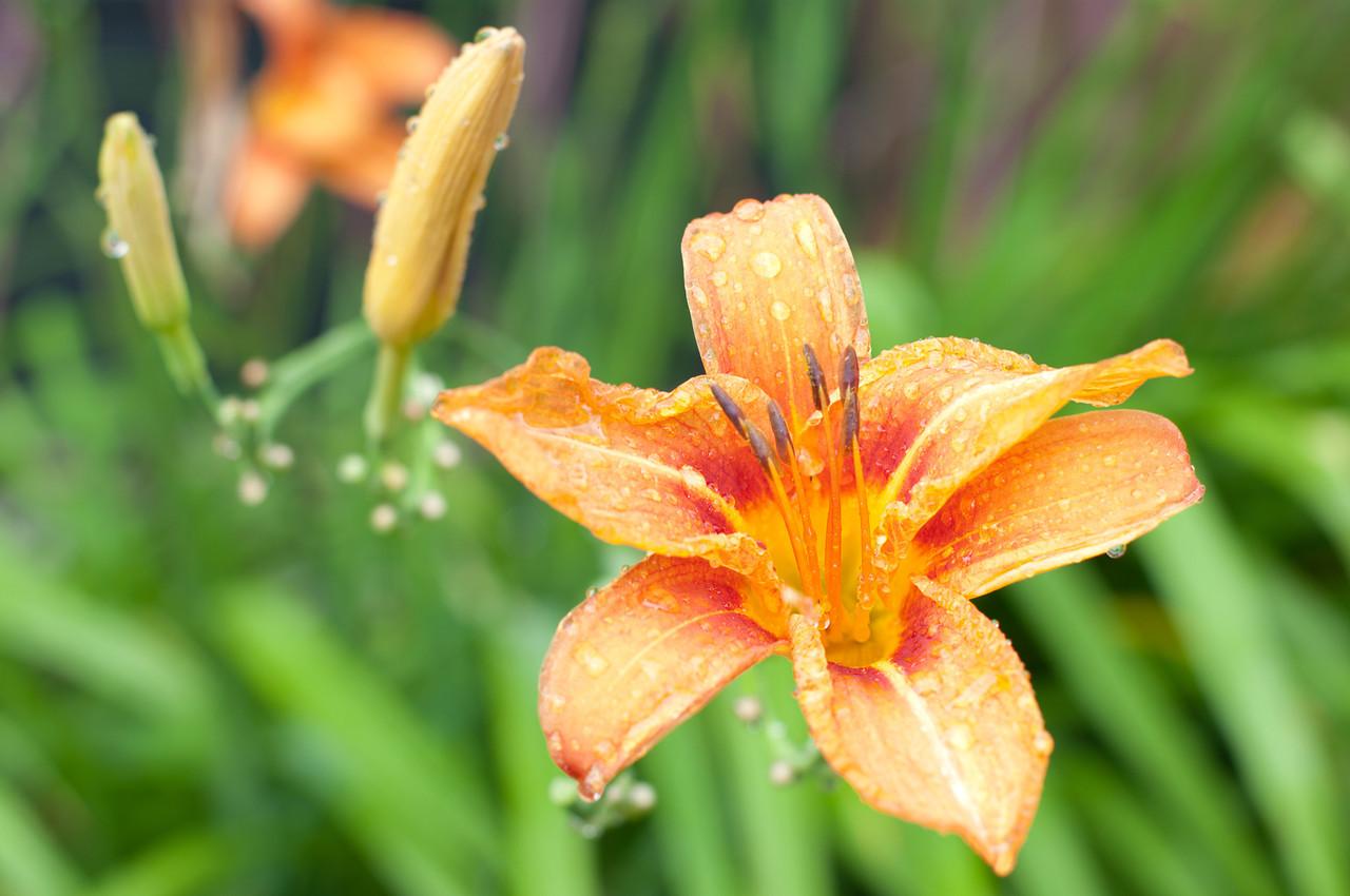 Päevaliilia / day lily