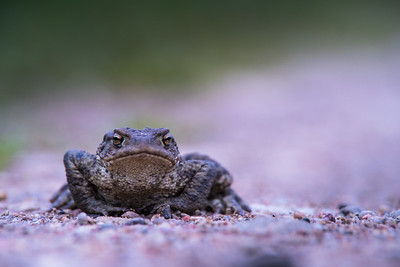 Portrait of common toad
