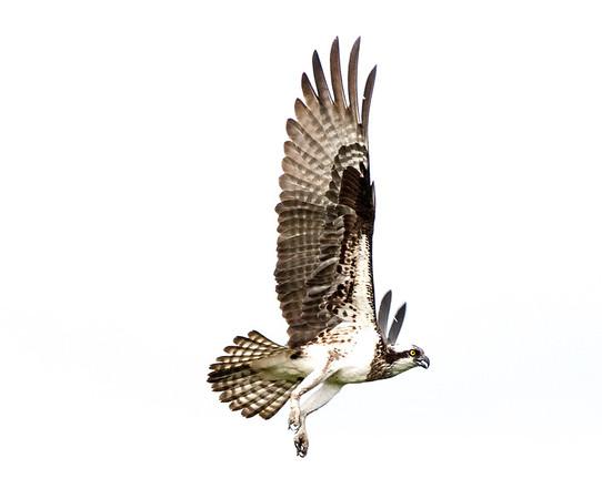 2016-06-24_Osprey_StirlingR_0046