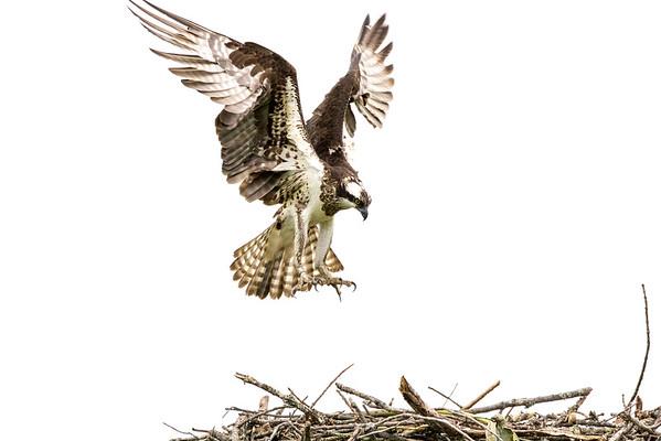 2016-06-23_Osprey_StirlingR_0011