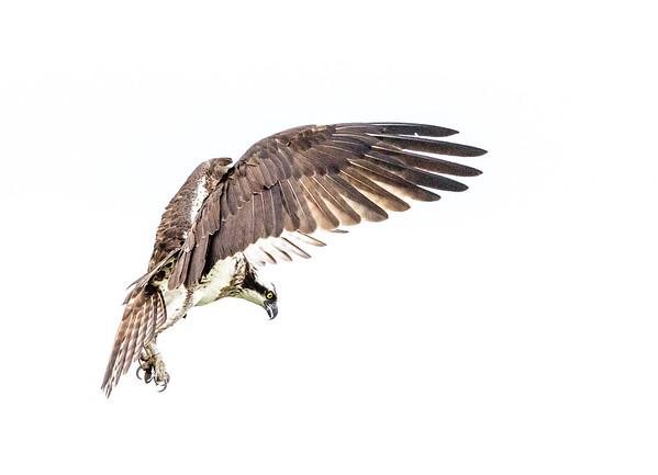 2016-06-24_Osprey_StirlingR_0053