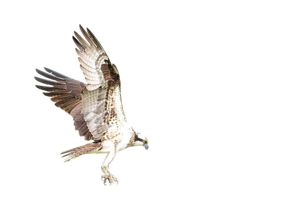 2016-06-24_Osprey_StirlingR_0051