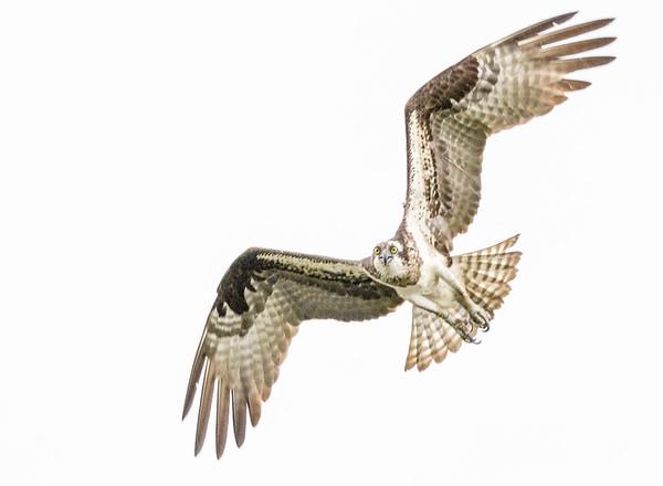 2016-06-23_Osprey_StirlingR_0025