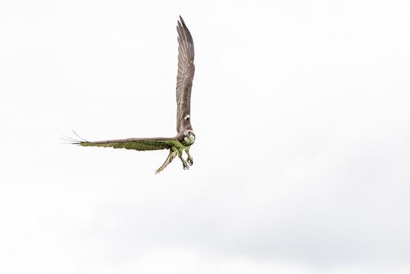 2016-06-23_Osprey_StirlingR_0024