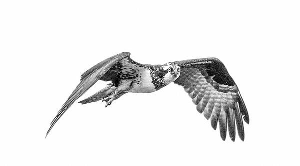 2016-06-24_Osprey_StirlingR_0001