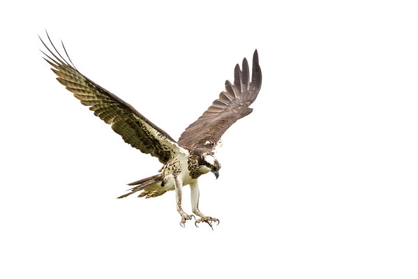 2016-06-23_Osprey_StirlingR_0009