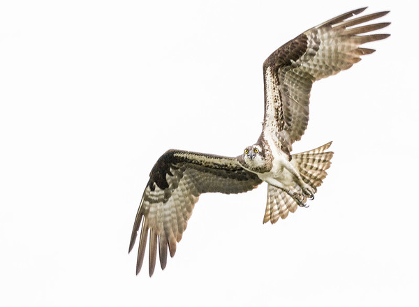 2016-06-23_Osprey_StirlingR_0026