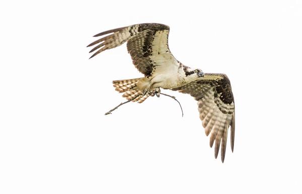 2016-06-23_Osprey_StirlingR_0034