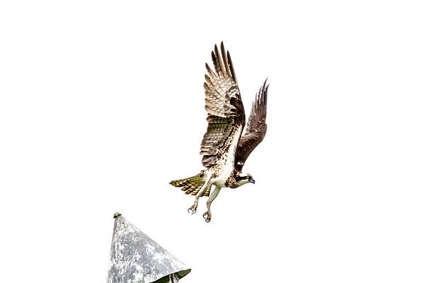 2016-06-23_Osprey_StirlingR_0003-2