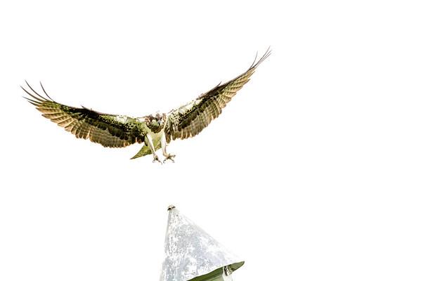 2016-06-23_Osprey_StirlingR_0001-2