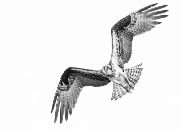2016-06-23_Osprey_StirlingR_0027