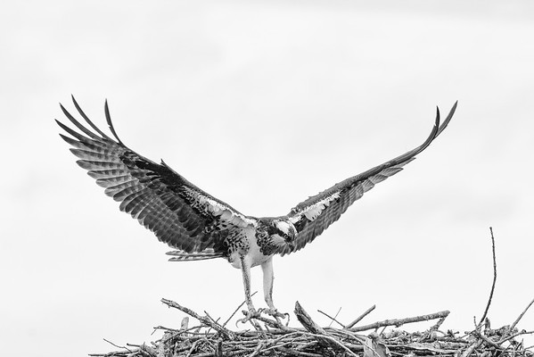 2016-06-23_Osprey_StirlingR_0014