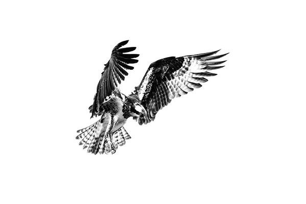 2016-06-23_Osprey_StirlingR_0007