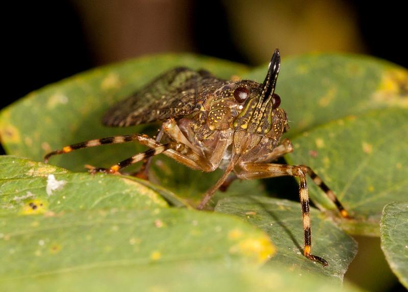Peru 2014: Tamshiyacu-Tahuayo Reserve - Lantern Bug (Fulgoridae: Enhydria sp.)