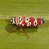 Honduras 2015: Rio Cangrejal - Sharpshooter (Cicadellidae: Cicadellinae: Cicadellini: Agrosoma carinona)