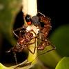Costa Rica 2015: La Selva - Unidentified ants tending treehoppers (Membracidae: Smiliinae: Amastrini: Harmonides panamensis)