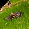 Peru 2014: Tamshiyacu-Tahuayo Reserve - Sharpshooter (Cicadellidae: Cicadellinae: Cicadellini: Oragua elegantula)