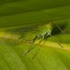 Costa Rica 2015: La Selva - Dictyopharid planthopper (Dictyopharidae: near Taosa sp.)