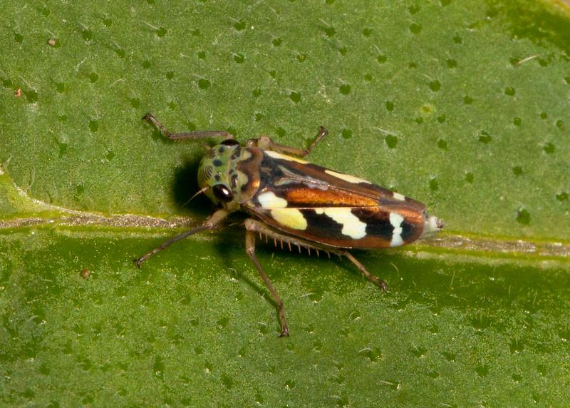 Peru 2014: Gocta Falls - Sharpshooter (Cicadellidae: Cicadellinae: Cicadellini: Stehlikiana halticula)