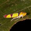 Costa Rica 2015: La Selva - Sharpshooter (Cicadellidae: Cicadellinae:      Cicadellini: Baleja rufofasciata).