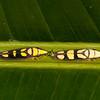 Costa Rica 2015: La Selva -  Sharpshooters (Cicadellidae: Cicadellinae: Cicadellini: Platygonia spatulata)