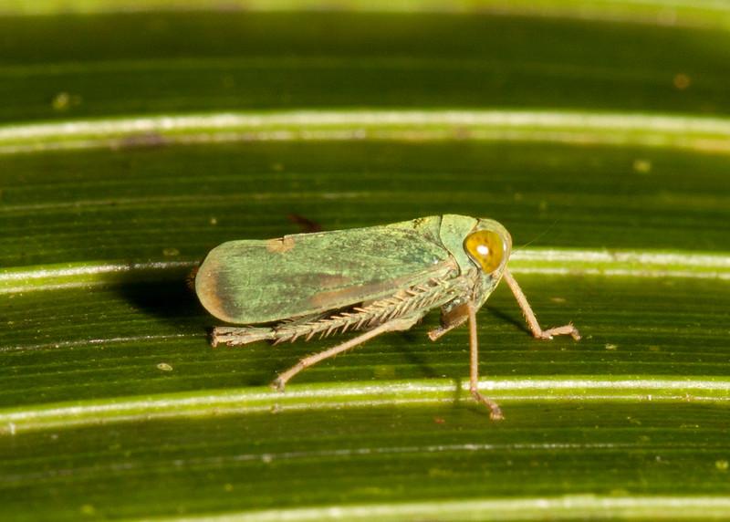 Costa Rica 2015: La Selva - Coelidiine Leafhopper (Cicadellidae: Coelidiinae)