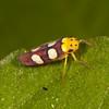 Honduras 2015: Rio Cangrejal - Sharpshooter (Cicadellidae: Cicadellinae: Cicadellini: Erythrogonia laudata)