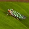 Costa Rica 2019: Corredores del Pacuare - Sharpshooter (Cicadellidae: Cicadellinae: Cicadellini: Tylozygus fuscolineella)