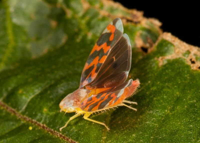 Peru 2014: Tamshiyacu-Tahuayo Reserve - Sharpshooter (Cicadellidae: Cicadellinae: Cidadellini: Ladoffa sp.)
