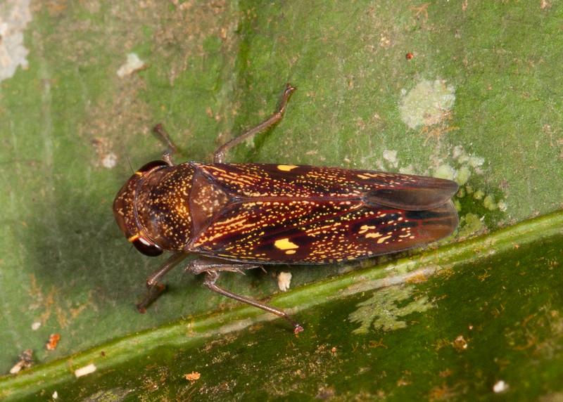 Peru 2014: Tamshiyacu-Tahuayo Reserve - Sharpshooter (Cicadellidae: Cicadellinae: Cicadellini: Oragua sp.; probably O. jurua)