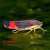Peru 2014: Tamshiyacu-Tahuayo Reserve - Sharpshooter (Cicadellidae: Cicadellinae: Cicadellini: Erythrogonia sp.; possibly E. jumaca)