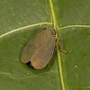 Peru 2014: Tamshiyacu-Tahuayo Reserve - Coelidiine Leafhopper (Cicadellidae: Coelidiinae)
