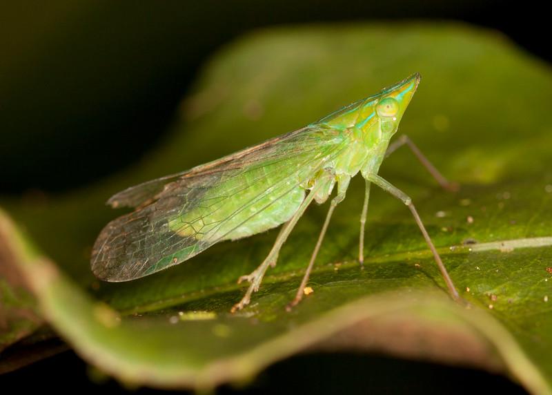 Peru 2014: Tamshiyacu-Tahuayo Reserve - Dictyopharid Planthopper (Dictyopharidae)