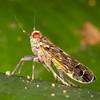 Peru 2014: Tamshiyacu-Tahuayo Reserve -  Delphacid Planthopper (Delphacidae: Asiracinae: Ugyopini: Ugyops sp.)