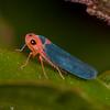 Costa Rica 2019: Corredores del Pacuare - Sharpshooter (Cicadellidae: Cicadellinae: Cicadellini: Macunolla ventralis)