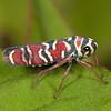 Costa Rica 2019: Corredores del Pacuare - Sharpshooter (Cidadellidae: Cicadellinae: Cicadellini: Agrosoma placetis)